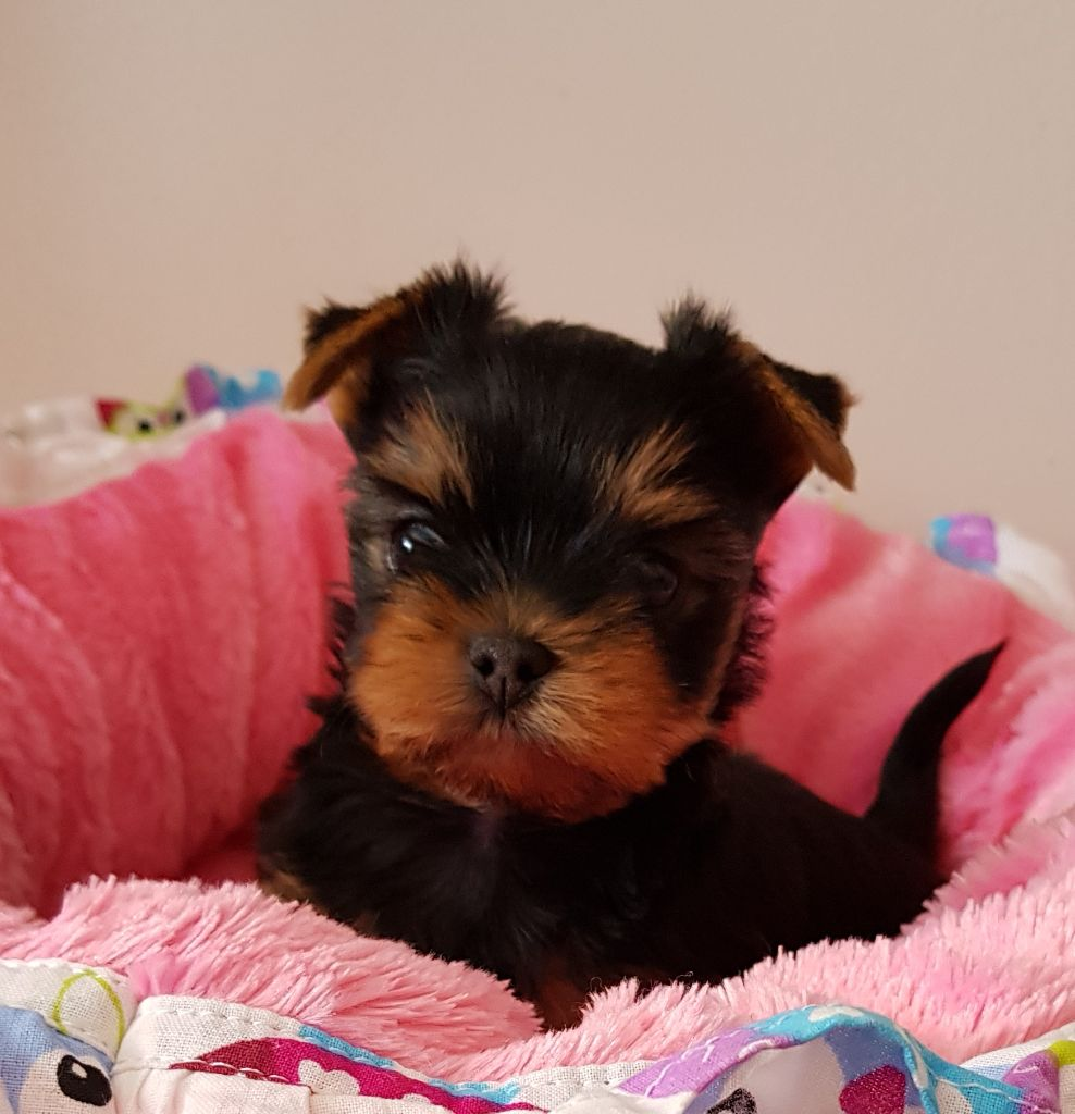 Amberstill - Chiot disponible  - Yorkshire Terrier