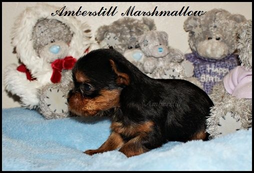 chiot yorkshire terrier marshmallow m le disponible en provence alpes cote d 39 azur 83 var. Black Bedroom Furniture Sets. Home Design Ideas
