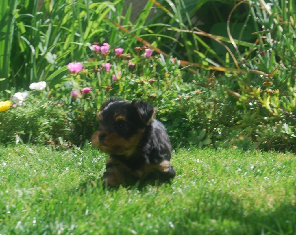 Noir desir - Yorkshire Terrier