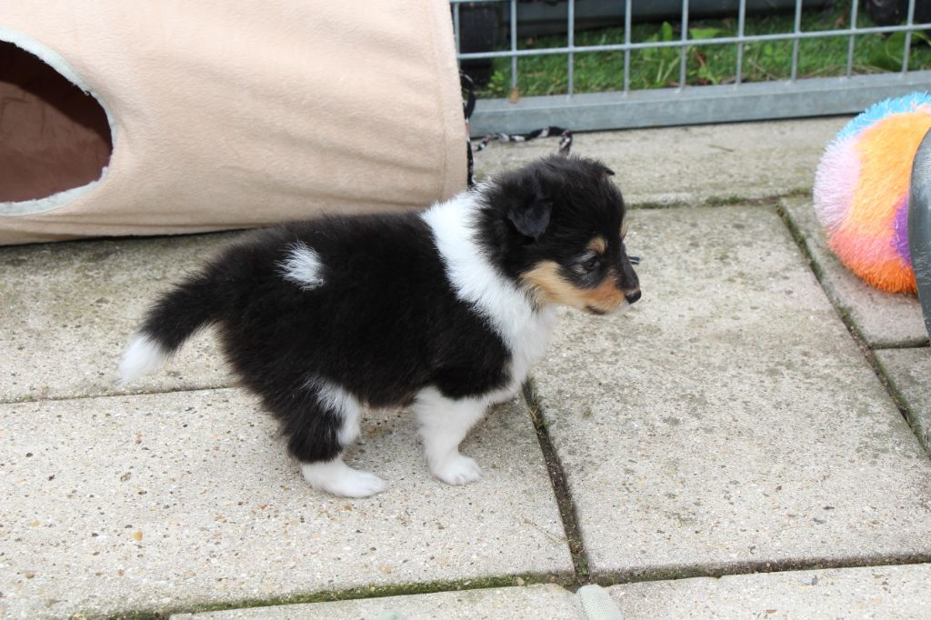 Petit Coeur Black Des Tendres Caresses - Shetland Sheepdog
