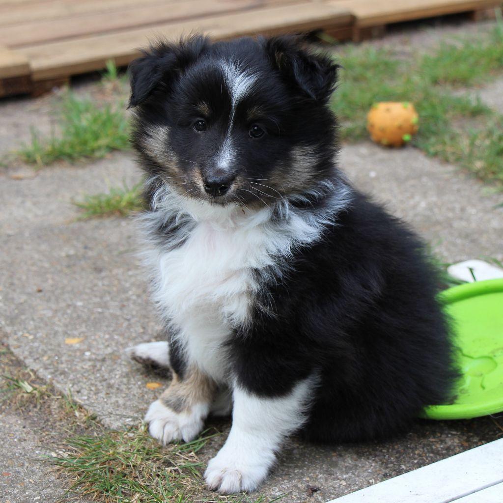 des tendres caresses - Chiot disponible  - Shetland Sheepdog
