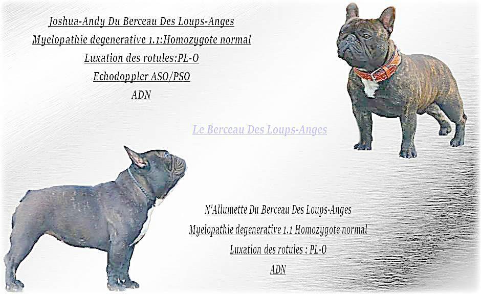 le berceau des loups-anges - Bouledogue français - Portée née le 28/06/2019