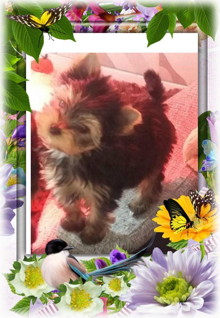 du Chemin de Bausset - Chiot disponible  - Yorkshire Terrier