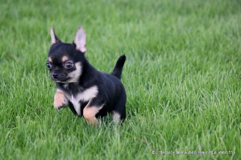 des aubépines de la Vilco - Chihuahua - Portée née le 10/10/2015