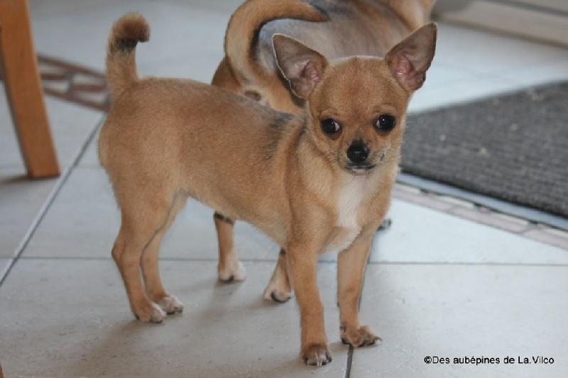 des aubépines de la Vilco - Chihuahua - Portée née le 13/08/2014