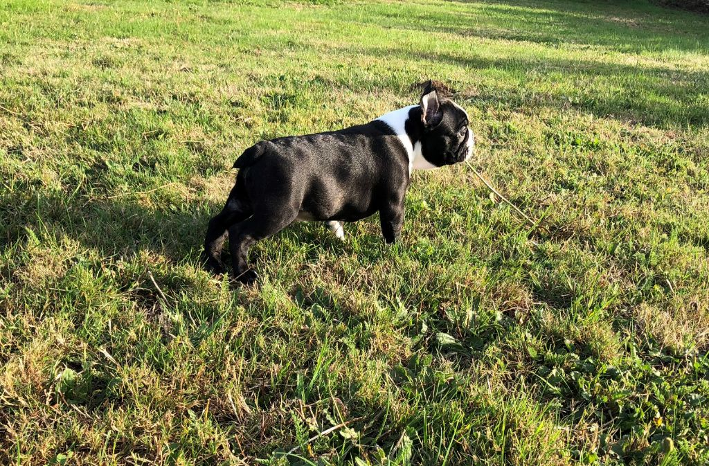 du manoir de la corbie - Chiot disponible  - Boston Terrier