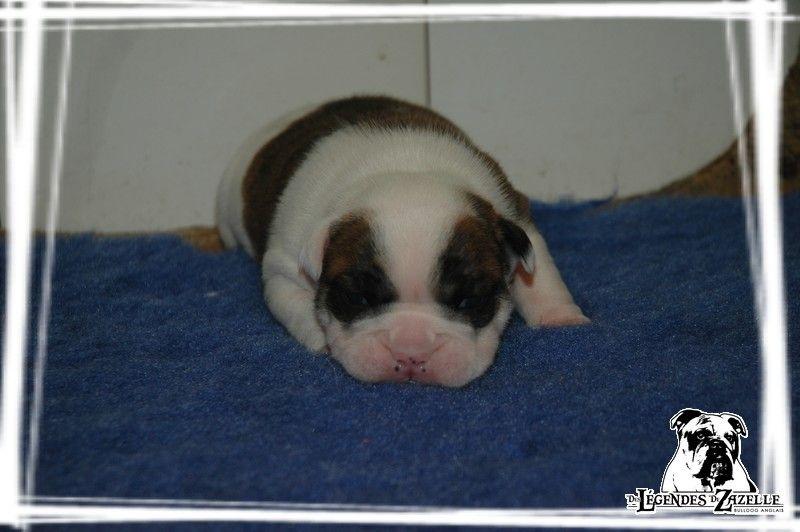 Des legendes de zazelle - Chiot disponible  - Bulldog Anglais