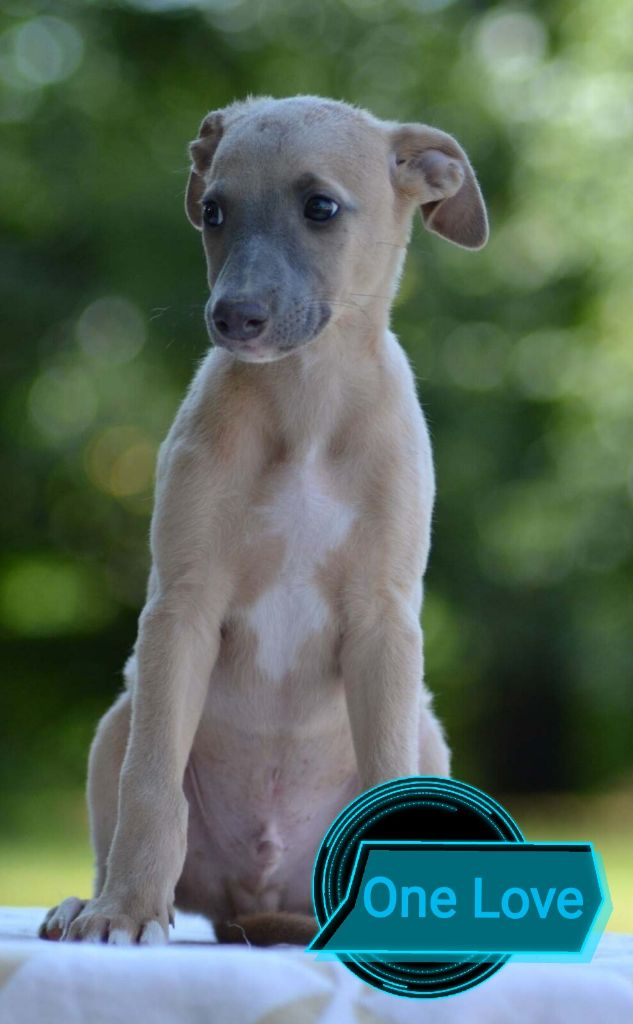 One Love - Whippet
