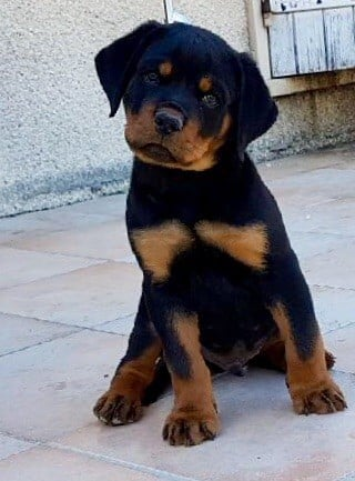 Vom hause man - Chiot disponible  - Rottweiler