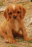 De jamirande - Chiot disponible  - Cavalier King Charles Spaniel