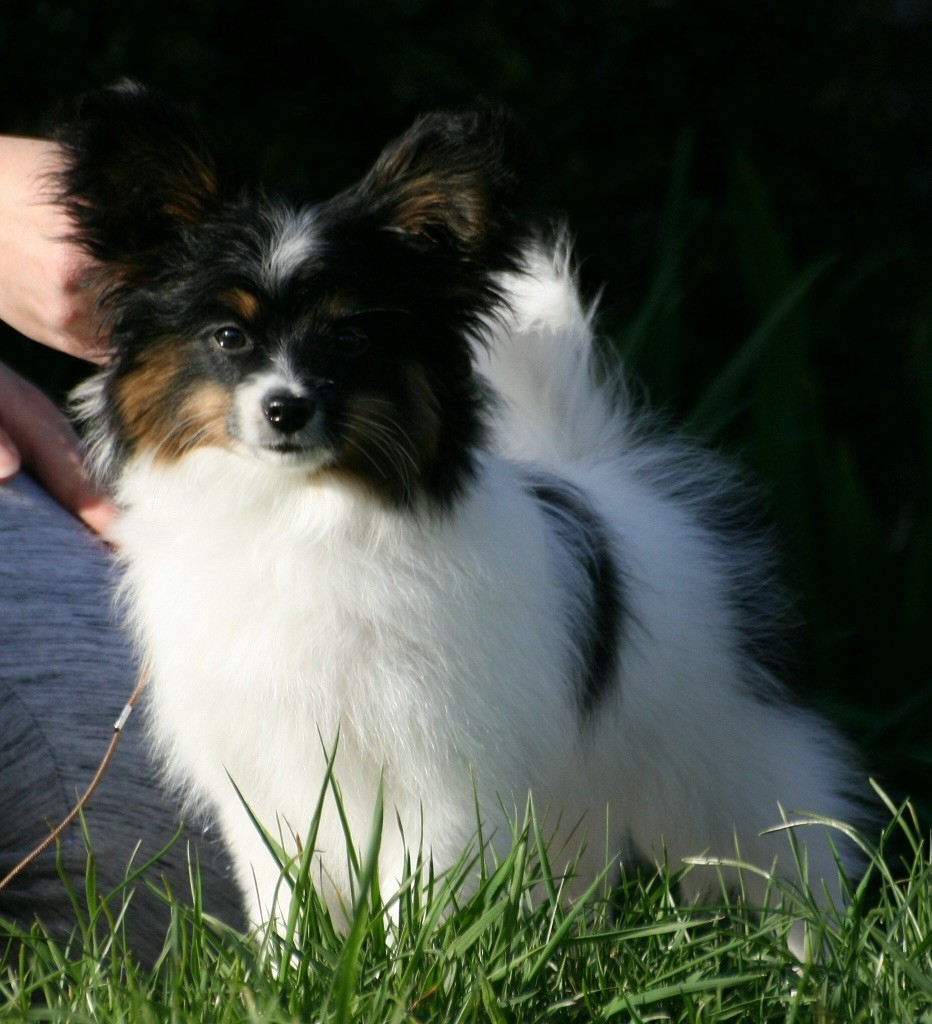 Ditrysia's One to win Epagneul nain Continental (Papillon)