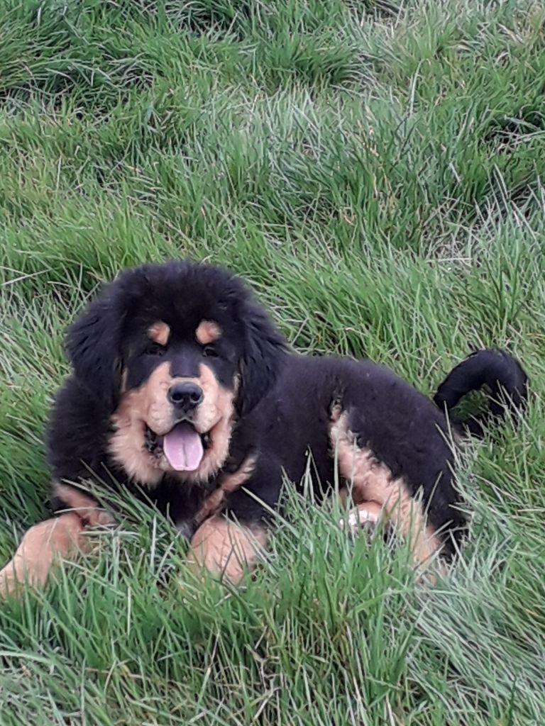 des Mille Vallées - Chiot disponible  - Dogue du Tibet
