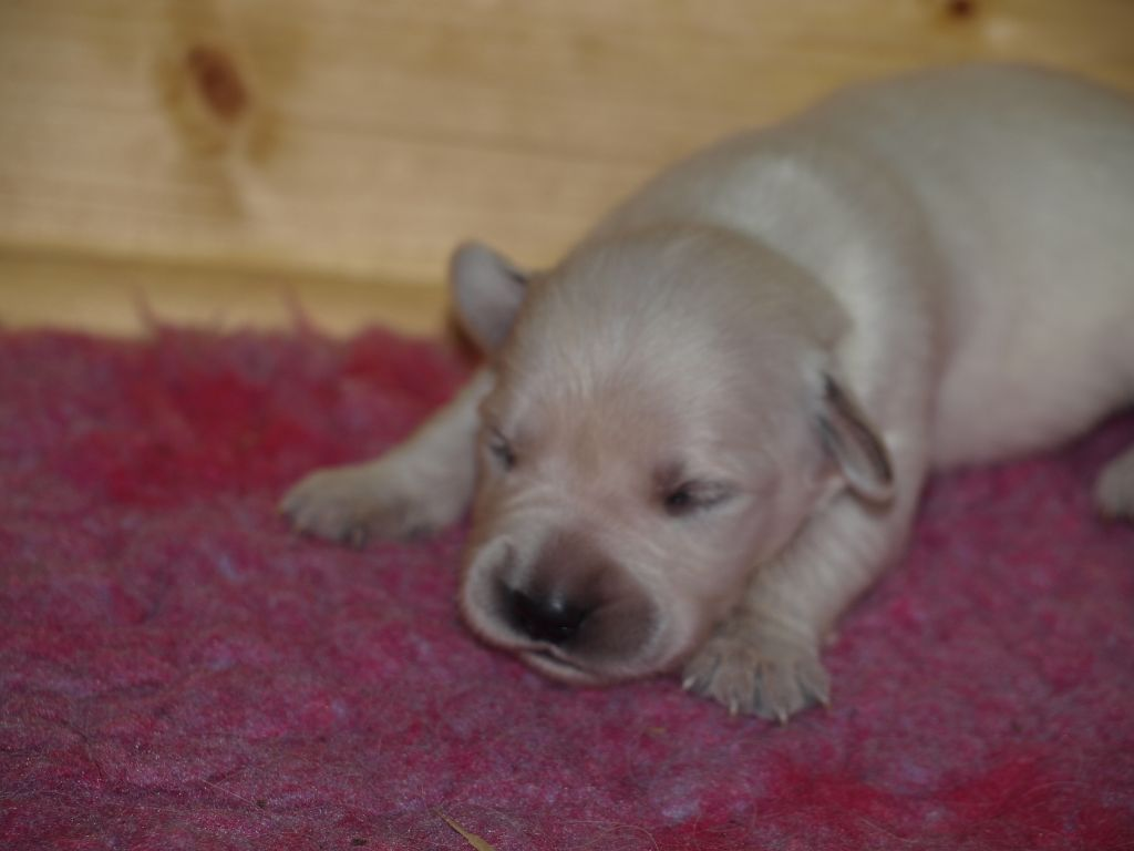 du logis d'Ecot - Chiot disponible  - Golden Retriever
