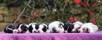Femelle noir tricolore queue écourtée 4