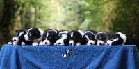 Femelle noir tricolore 1 queue longue