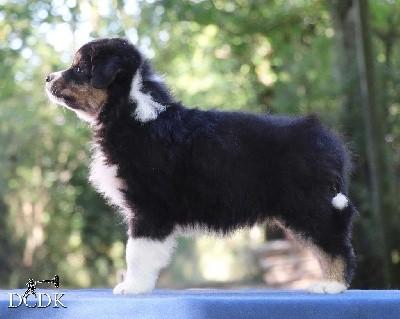 Femelle noir tricolore queue longue 1