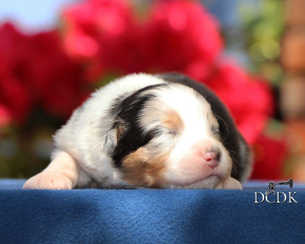 du chemin des korrigans - Chiot disponible  - Berger Australien