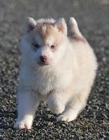 Siberian Husky - de L'Igloo des Sables