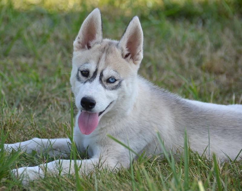 Assez Chiot - Elevage de L'Igloo des Sables - eleveur de chiens Siberian  QE39