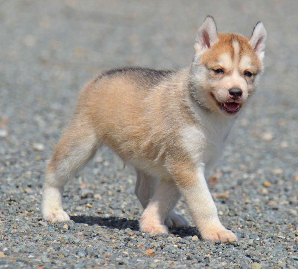 Chiot - Elevage de L'Igloo des Sables - eleveur de chiens