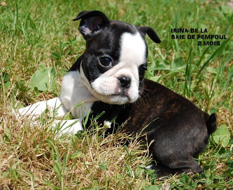 irina de la baie de pempoul chien de race toutes races en tous departements france inscrit sur. Black Bedroom Furniture Sets. Home Design Ideas
