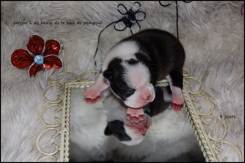 CHIOT 1 - Boston Terrier