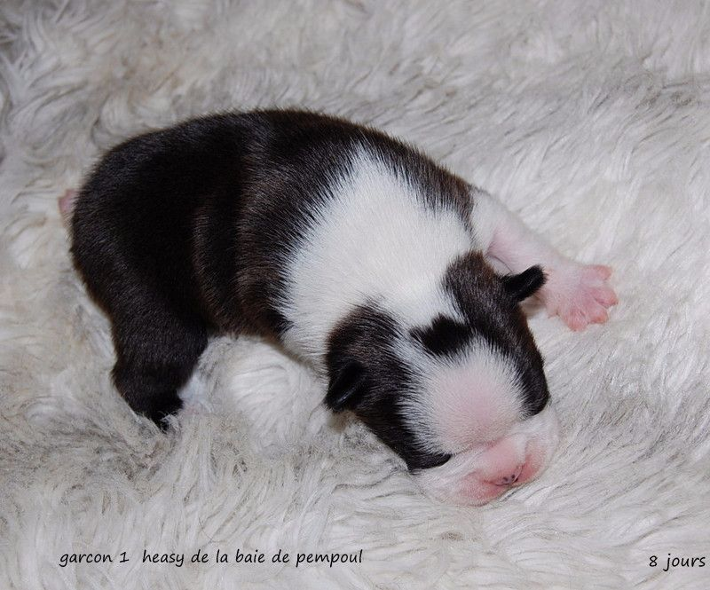 CHIOT 1 - Boston Terrier