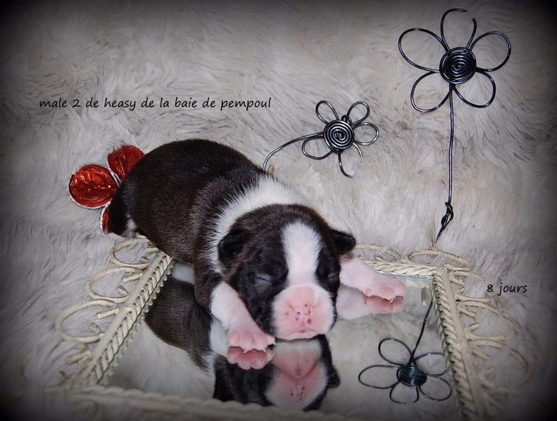 CHIOT 2 - Boston Terrier