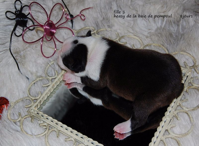CHIOT - Boston Terrier