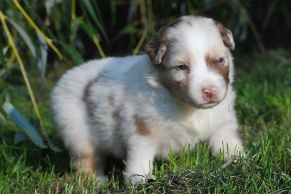 of Angels Mind - Chiot disponible  - Berger Australien