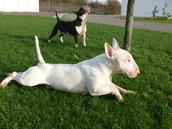Photo elevage unfailling eleveur de chiens bull terrier for Agility au jardin