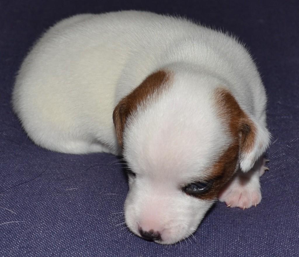 De la plaine des oliviers - Chiot disponible  - Jack Russell Terrier