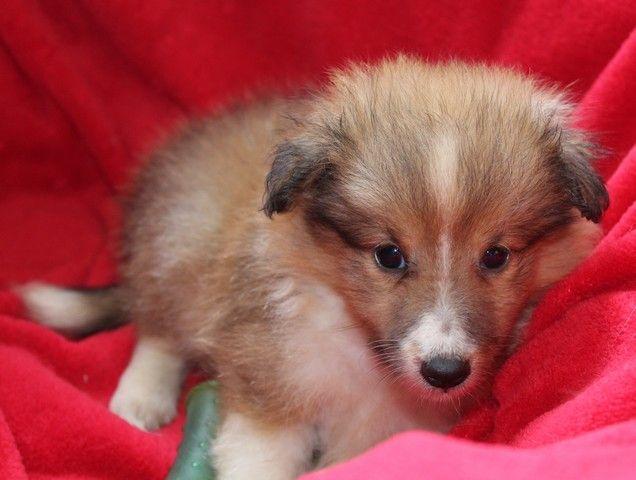 du Royaume d'Angélique - Chiot disponible  - Shetland Sheepdog