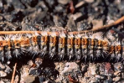 de la perle tibetaine - un danger mortel :la chenille processionnaire du pin et du chêne
