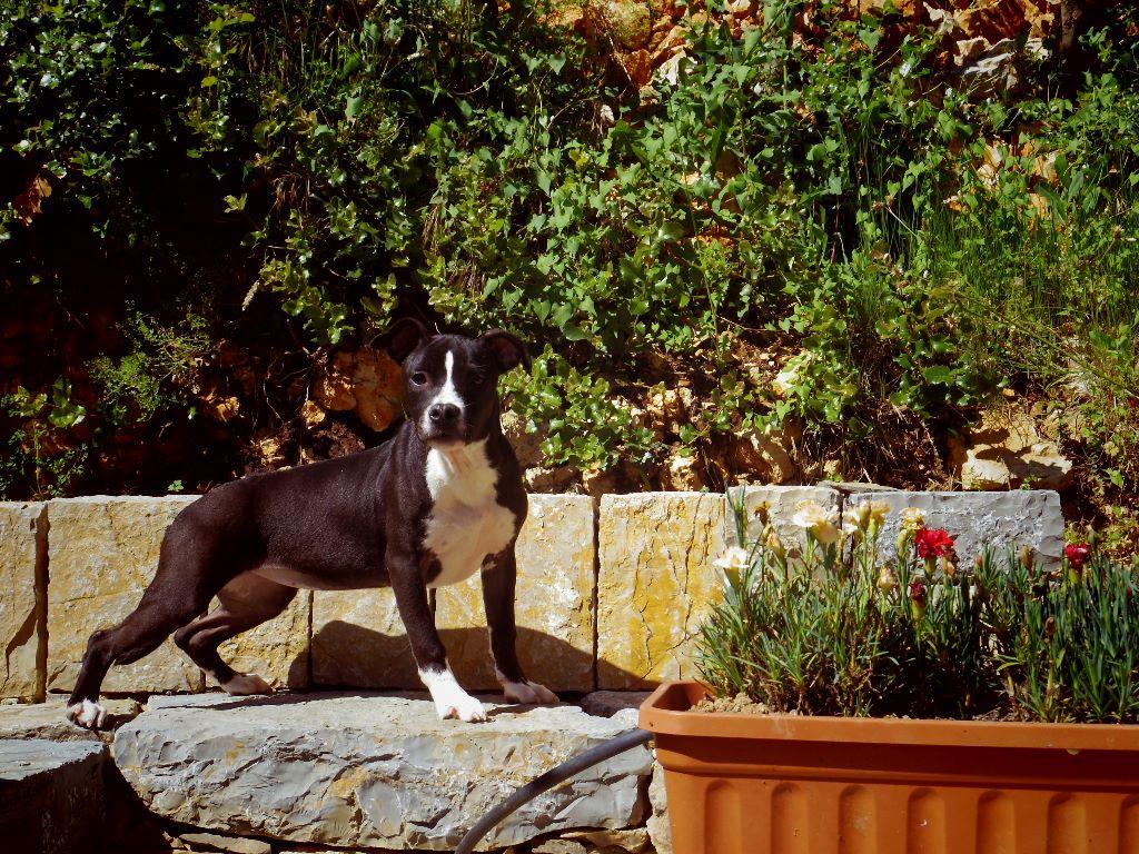 FEMELLE NOIR ET BLANCHE - American Staffordshire Terrier