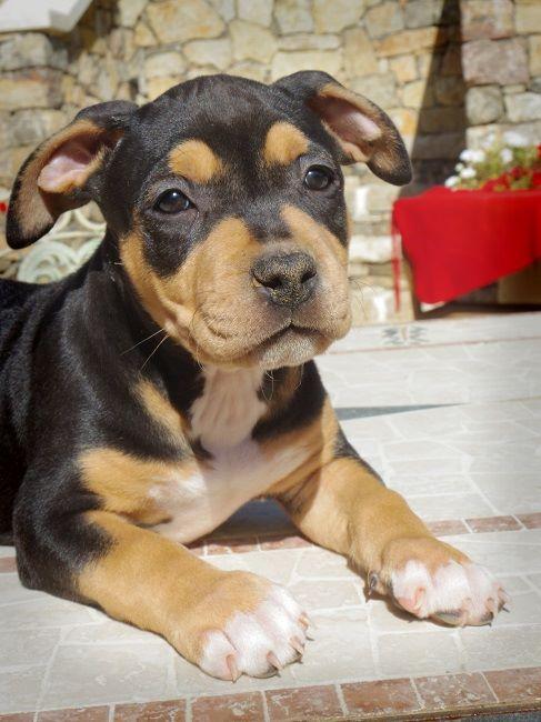du Sarmizegetusa Regia - Chiot disponible  - American Staffordshire Terrier