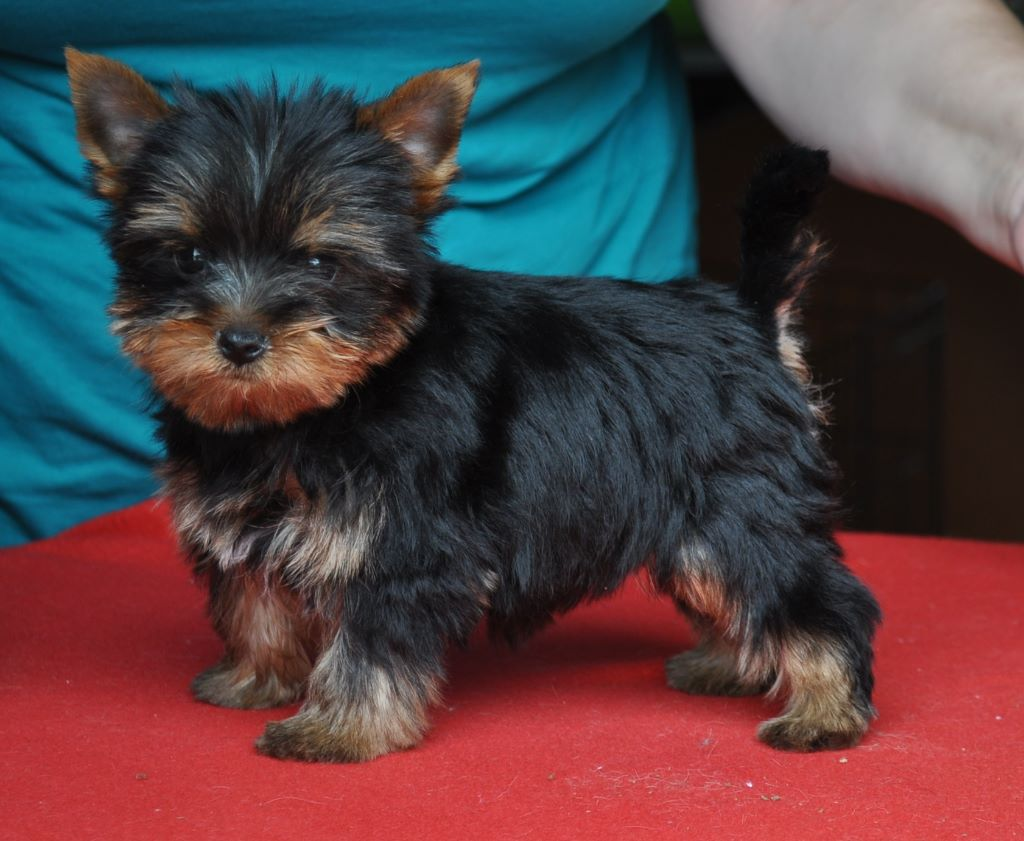 PAOLO - Yorkshire Terrier