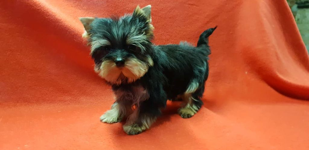OSIRIS - Yorkshire Terrier