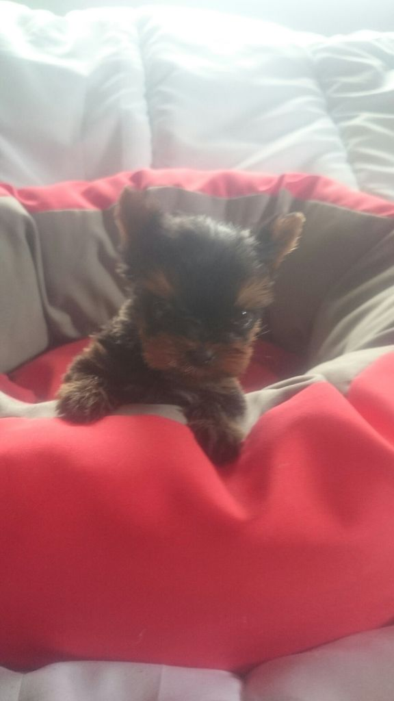 de France D'Iela - Yorkshire Terrier - Portée née le 20/06/2019