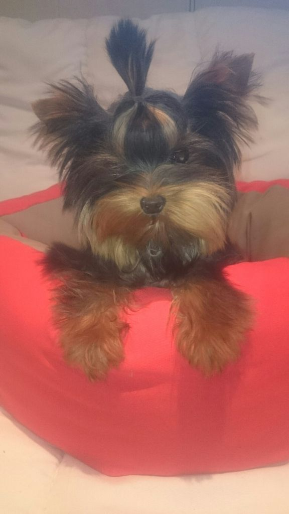de France D'Iela - Chiot disponible  - Yorkshire Terrier