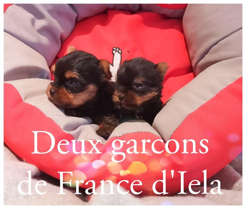 de France D'Iela - Yorkshire Terrier - Portée née le 05/12/2018