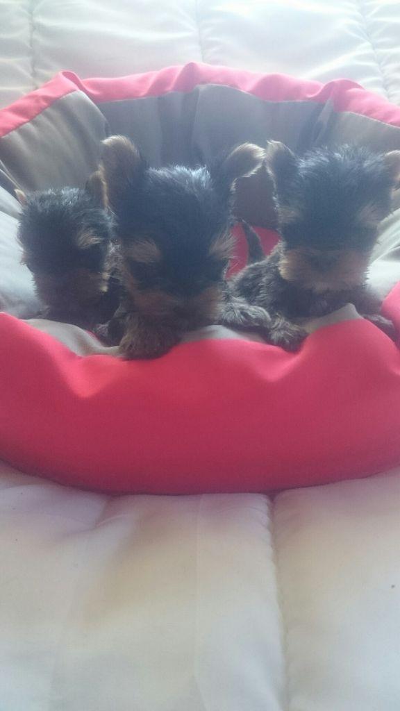 de France D'Iela - Yorkshire Terrier - Portée née le 12/06/2019