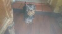 de France D'Iela - Yorkshire Terrier - Portée née le 01/01/2017
