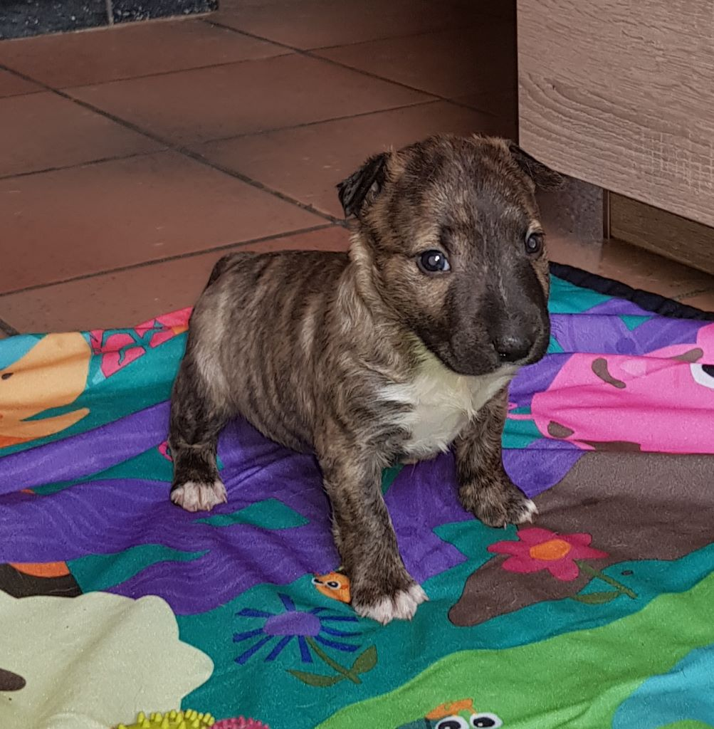 Du mas des rêves - Chiot disponible  - Bull Terrier Miniature