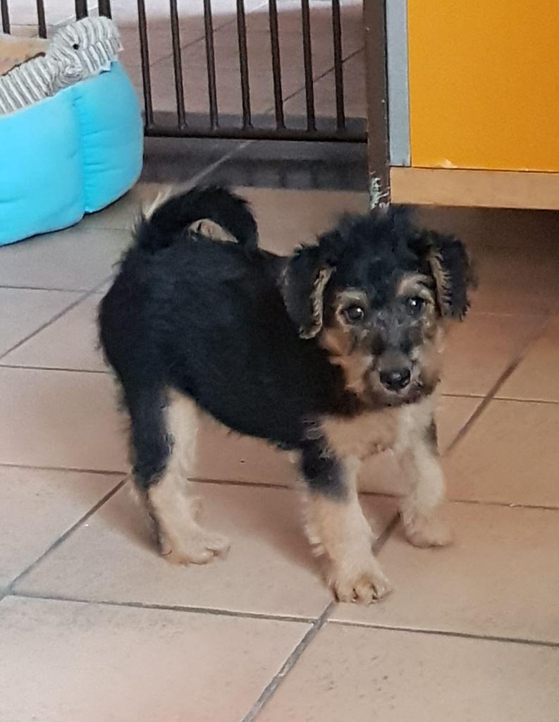 Du mas des rêves - Chiot disponible  - Welsh Terrier
