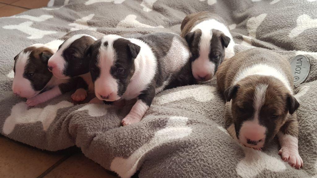 Du mas des rêves - Bull Terrier Miniature - Portée née le 02/01/2020