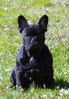 Le golden child - Chiot disponible  - Bouledogue