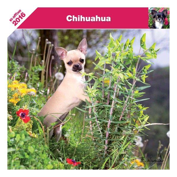 du Harpouy D'Auzan - Calendrier Chihuahua 2016