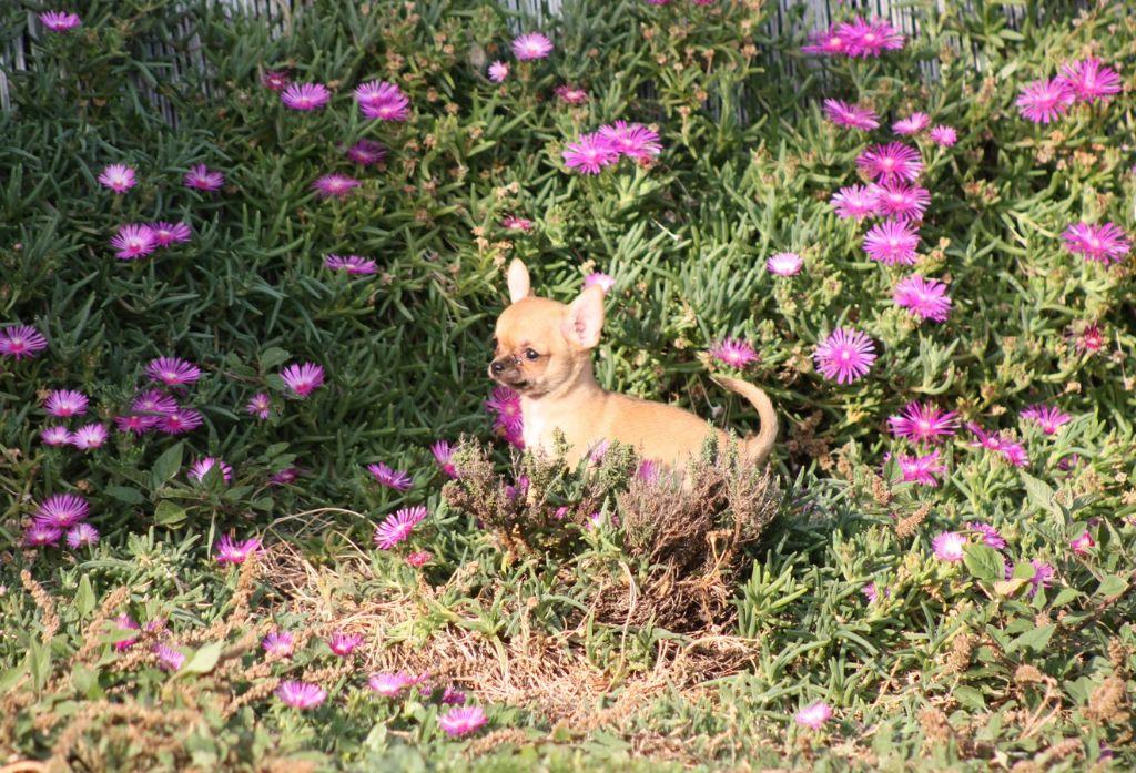 du Harpouy D'Auzan - Chihuahua - Portée née le 27/07/2017