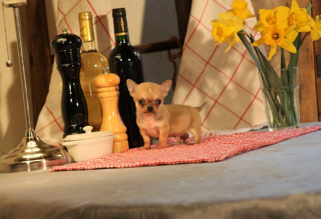 du Harpouy D'Auzan - Chihuahua - Portée née le 07/02/2017